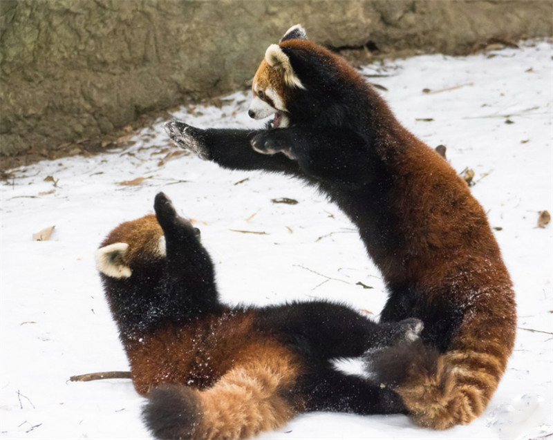 What Does the Chinese Red Panda Eat  Animals  momme
